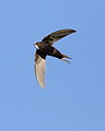 White-rumped swift, Apus caffer, at Suikerbosrand Nature Reserve, Gauteng, South Africa (22985044889).jpg