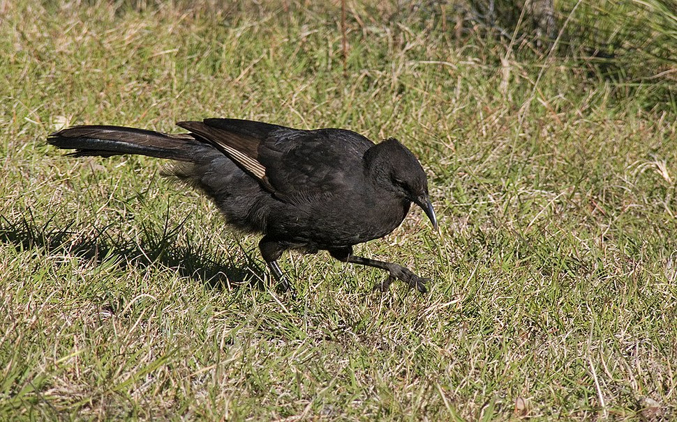 White-winged Chough2