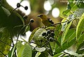 White-winged Tanager (446750237).jpg