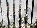White Flowers on a White Fence Fortuna CA.jpg