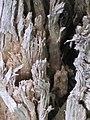White fibrous rot - Белая волокнистая гниль - IMG 2121.JPG