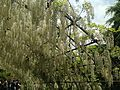 White wisteria on Wisteria Tunnel in Kawachi Wisteria Garden 20150509-3.JPG