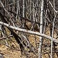 Whitetail Deer in AssiniboineForest.jpg