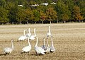Whooper Swans arriving for breakfast at Balinroich - geograph.org.uk - 1031701.jpg