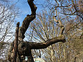 Wien-Penzing - Hütteldorf - Naturdenkmal 52 - Stieleiche (Quercus robur) III.jpg