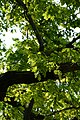 Wiener Naturdenkmal 370 - Traubeneiche (Döbling) i.JPG