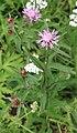 Wiesen-Flockenblume Centaurea jacea 1464.jpg