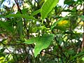 Wikstroemia oahuensis var. oahuensis (5187960861).jpg