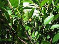 Wikstroemia oahuensis var. oahuensis (5188563150).jpg