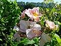 Wild Rose, Rosa acicularis - geograph.org.uk - 899856.jpg