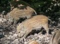 Willebadessen - 2017-05-27 - Wildgehege (23).jpg