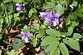 Wiosenna dziewiątka.Fiołek leśny (Viola reichenbachiana) - panoramio.jpg