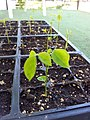 Wisteria seedlings (14365474601).jpg