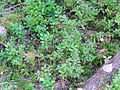 Woodlot NW of Kornilovo - whortleberries - DSCF5601.JPG