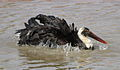 Woolly-necked stork, Bishop stork or White-necked stork, Ciconia episcopus, at uMkhuze Game Reserve, kwaZulu-Natal, South Africa - having a bath (15301684098).jpg