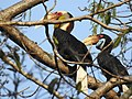 Wreathed Hornbill adult pair.jpg