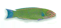 XRF-Thalassoma lunare.png