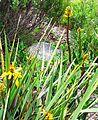 X Aloe commixta in Kirstenbosch fynbos rocky scrub 7.jpg