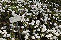 X Kanadablodurt in the Botanical garden of Oslo.jpg