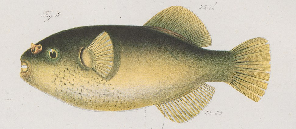 Xenopterus modestus - 1700-1880 - Print - Iconographia Zoologica - Special Collections University of Amsterdam - UBA01 IZ15500009 (cropped)