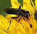 Xylota jakutorum (female) - Pine Leafrunner - Flickr - S. Rae.jpg