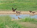 Yellow-billed Kites (Milvus aegyptius) (6865196436).jpg