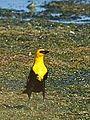 Yellow Headed Blackbird (7399600644).jpg