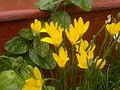 Yellow rain-lily flowers, Gurgaon,India.jpg