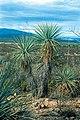 Yucca rigida fh 0423 MEX BBBB.JPG