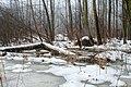 Zakole Wawerskie w Warszawie, las olchowy zimą 001.jpg