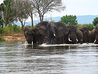 Zambezi – Elephants crossing the river- 1 ca 12.11.2009.jpg