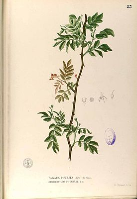 Illustration von Zanthoxylum piperitum