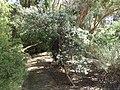 Zieria granulata habit (ANBG).jpg