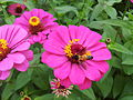 Zinnia from Lalbagh Flowershow - August 2012 101311.jpg