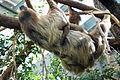 Zoo Zuerich Faultier.jpg