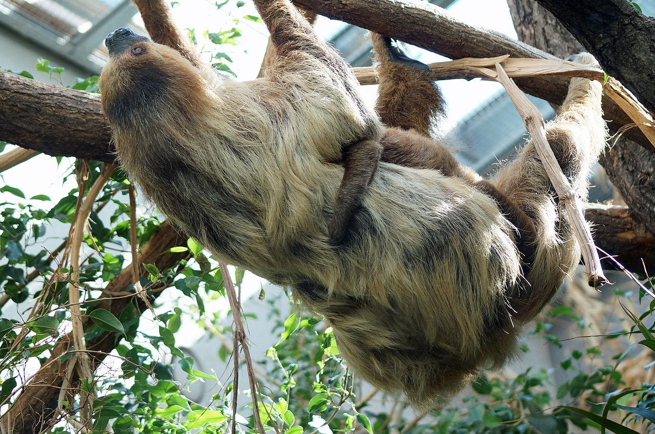 File:Zoo Zuerich Faultier.jpg - Wikimedia Commons