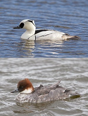 Smew - Male (top) and female smew