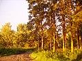 """""""Жёлтые"""" сосны (Yellow pine-trees) - panoramio.jpg"""