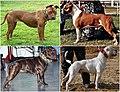 """Pitbull-type"" dog breeds2.jpg"