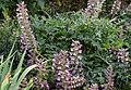 'Acanthus spinosus' West Garden Hatfield House Herts England.jpg