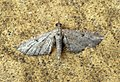 (1840) Shaded Pug (Eupithecia subumbrata) (7856020898).jpg