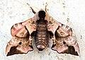 (1980) Eyed Hawk-moth (Smerinthus ocellata) (14296070230).jpg