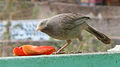 (Turdoides affinis) White headed babbler eating a Papaya slice 02.JPG