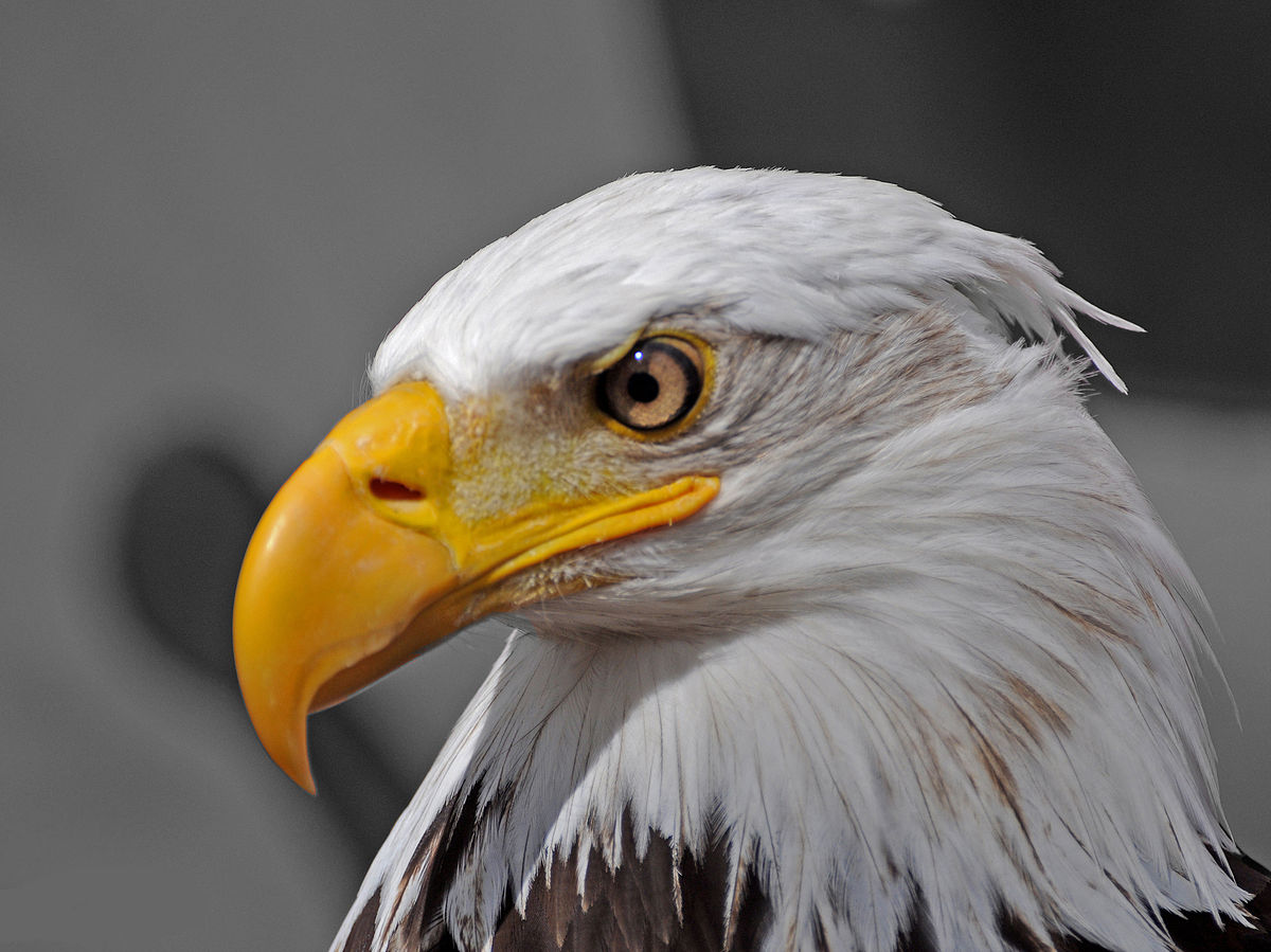 Do Eagles Carry Disease That Can Hurt Dogs