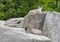 Íbice (Capra ibex ibex), Tierpark Hellabrunn, Múnich, Alemania, 2012-06-17, DD 01.JPG