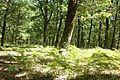 Δασος φολόης.jpg