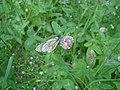 Боярышница на соцветии клевера, 2015.E485C.jpeg