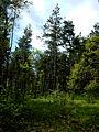 Вид на сосны - panoramio.jpg