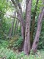 Гермаківська бучина лісове урочище «Дача Романського».jpg
