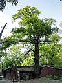 Група вікових дерев дуба 04.jpg